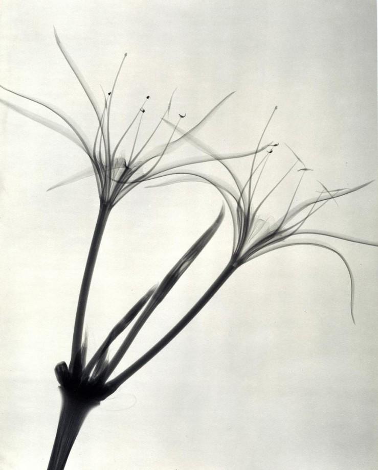xray-fleur-03