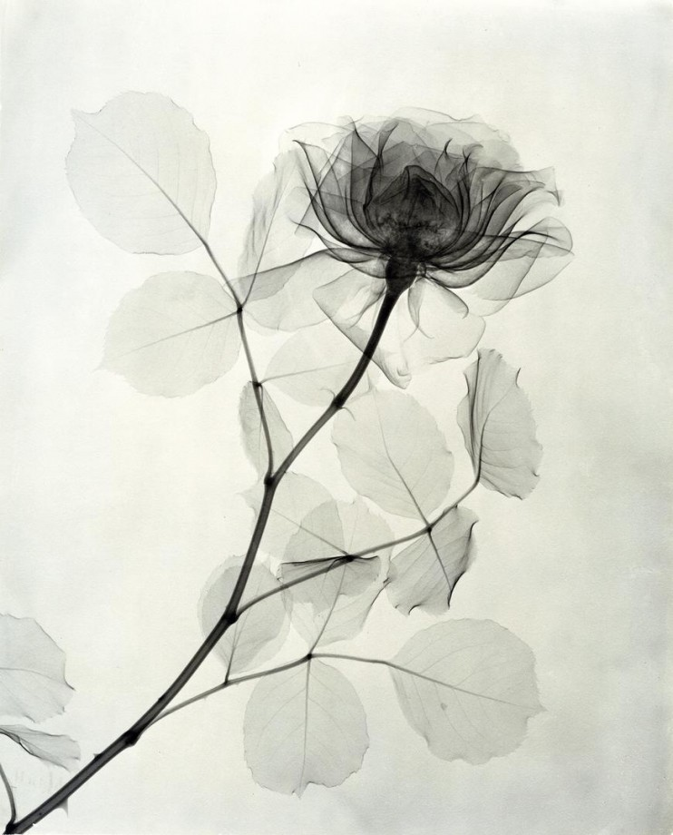 xray-fleur-06