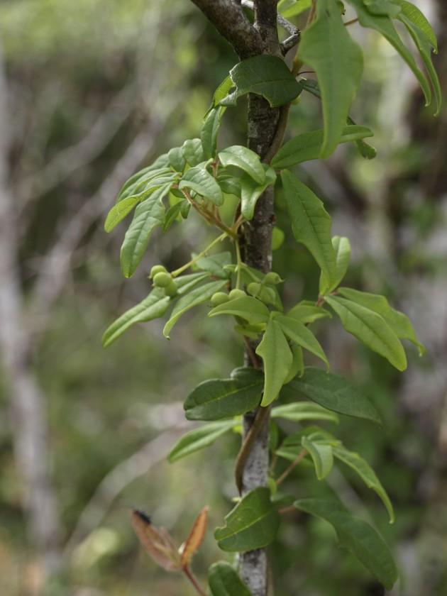 Une autre forme de Boquila trifoliolata