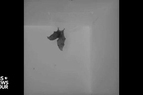 Comment les chauve-souris atterrissent la tête en bas