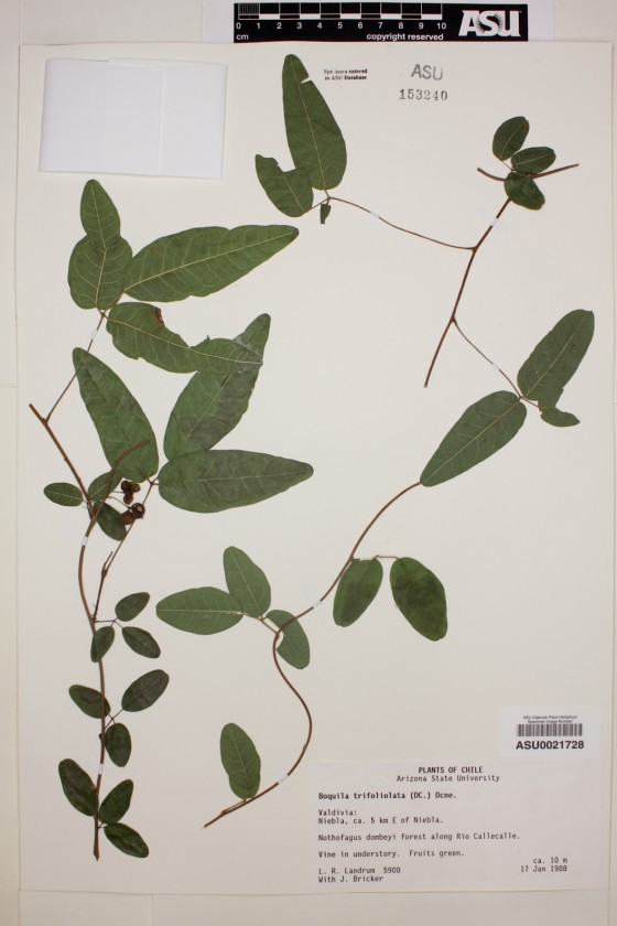 herbier-Boquila-trifoliolata-02