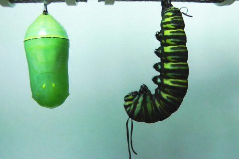 Le cycle de vie du papillon monarque