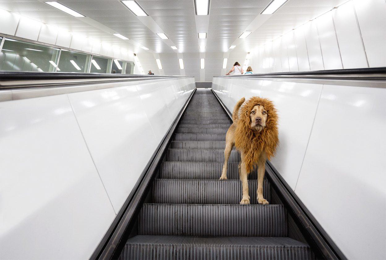 lion-chien-deguisement-02