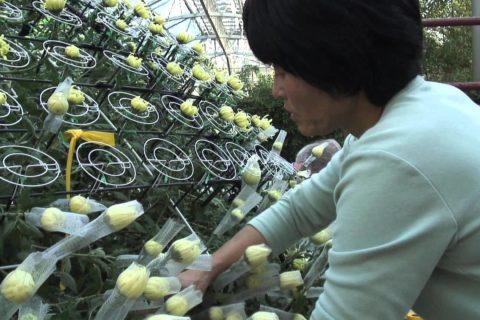 Un chrysanthème aux 1000+ fleurs