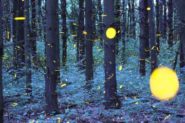 Quand les lucioles et les étoiles se mélangent