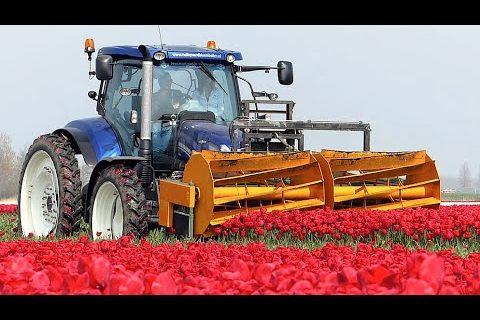 Un an dans une ferme de production de tulipes