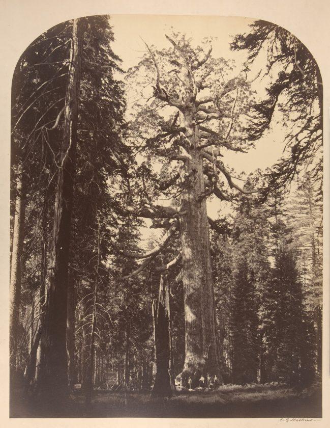 Watkins-sequoia-geant