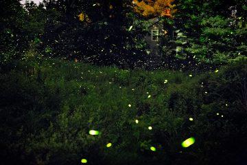 luciole-mauney-01