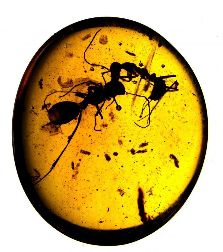 Un combat entre deux fourmis - 100 millions - Birmanie