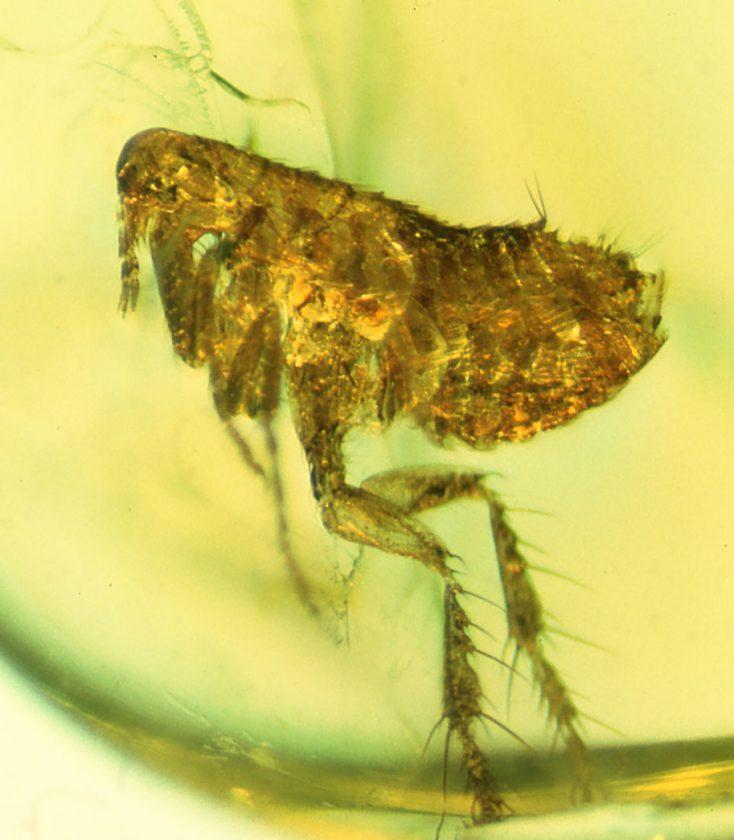 Une mouche qui porte des bactéries de l'ancêtre de la peste - 20 millions - Dominique républicaine