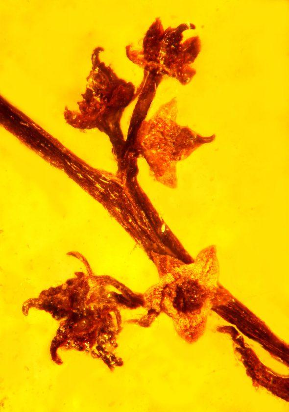 Une fleur d'arbre parfaitement préservée, avec son pollen, ses tubes polliniques et son stigmate - 99 millions - ?