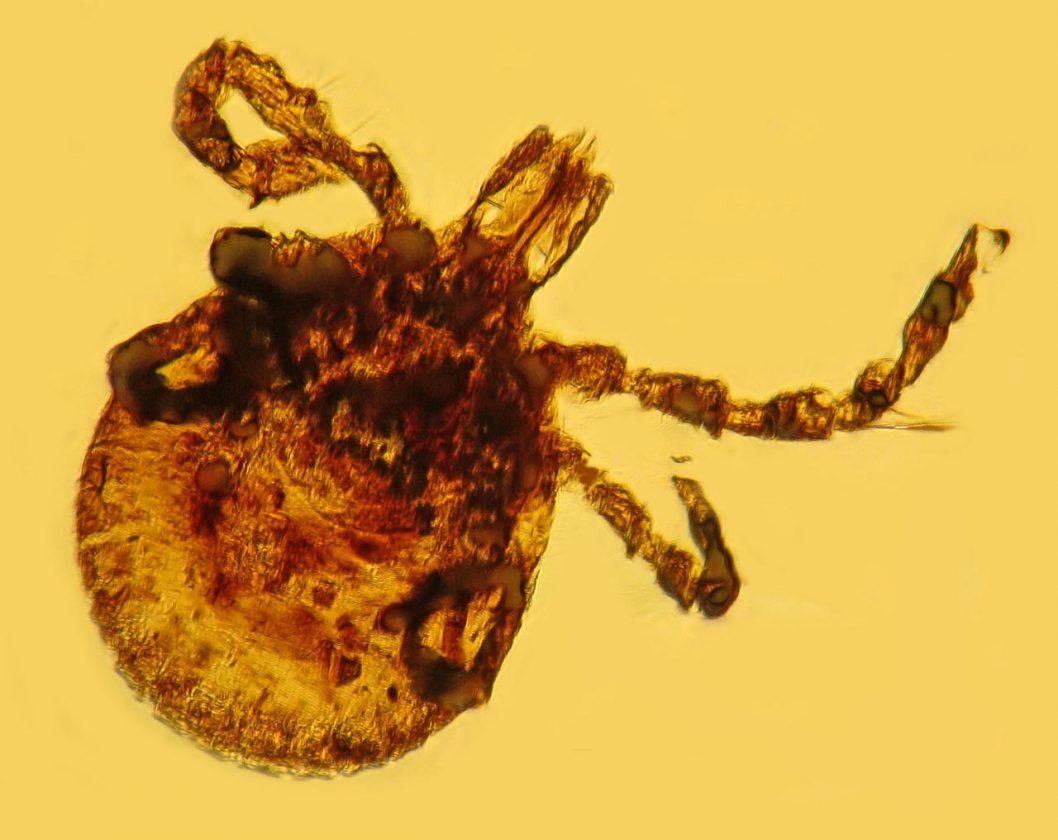 Une tique qui porte le même type de bactéries que celles qui causent la maladie de Lyme - 15 millions - République dominicaine