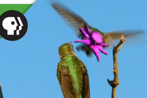 Pour draguer le Colibri se transforme en poulpe violet