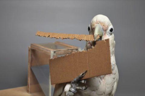 Un cacatoès pas regardant sur les matériaux pour faire ses outils